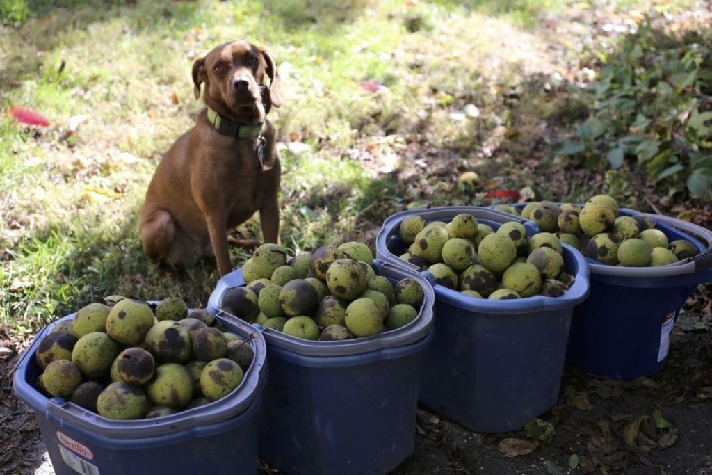 Arya with Walnuts