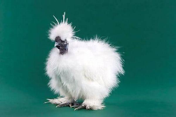 chicken_16