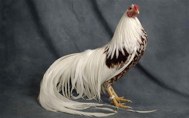 chickens-yokohama_1834737i