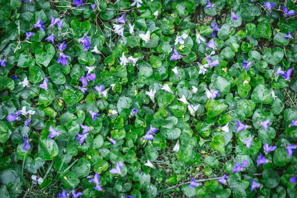 Violets for Syrup